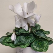 Cyclamen Plant in Ceramic Pot