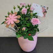 Rose Plant in Ceramic Pot